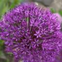 Česnek - květ