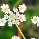 Koriandr setý - květ