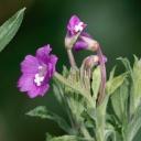 Vrbovka malokvětá